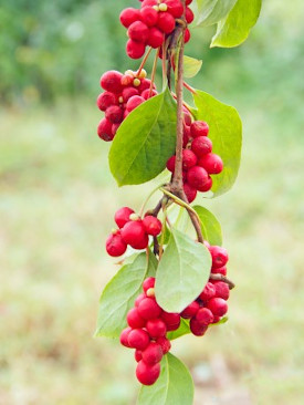 CHINA – SCHISANDRA