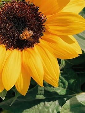 FRANCE – ORGANIC SUNFLOWER